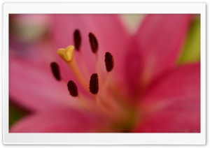 Pink Lily, Pistil, Stamens,...