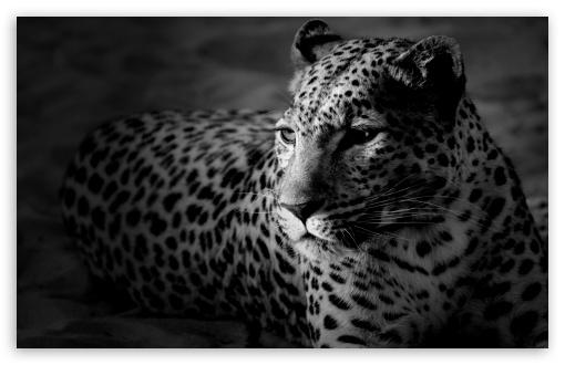 Download Black And White Jaguar UltraHD Wallpaper