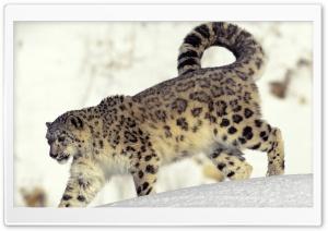 Snow Leopard In Snow