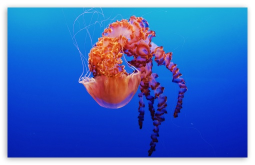 Download Beautiful Jellyfish UltraHD Wallpaper