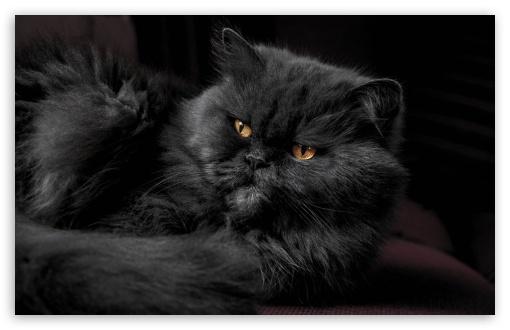 Download Beautiful Doll Face Persian Cat, Fluffy Black... UltraHD Wallpaper