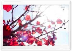 Sunshine Through A Red Tree