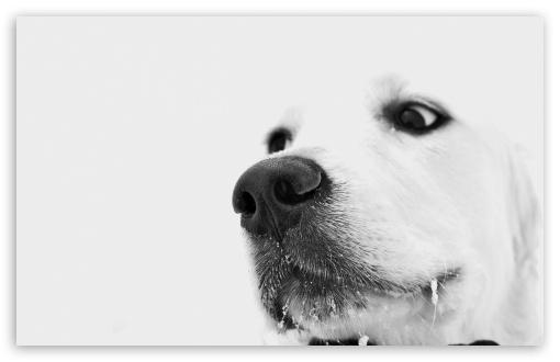 Download White Dog, Winter UltraHD Wallpaper