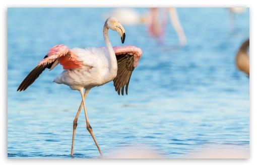 Download Flamingo, Water UltraHD Wallpaper
