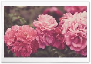 Rose Garden, Vintage
