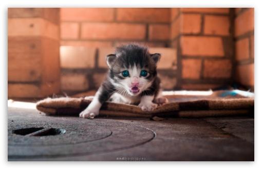 Download Cute Angry Kitty UltraHD Wallpaper