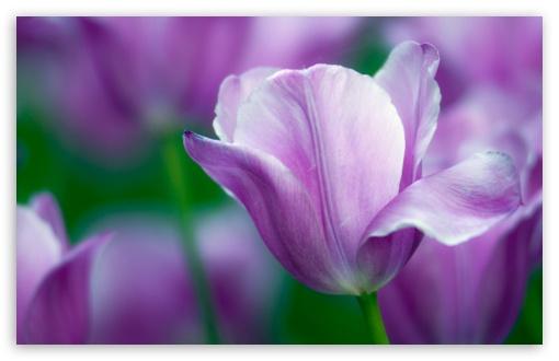 Download Violet Tulip UltraHD Wallpaper