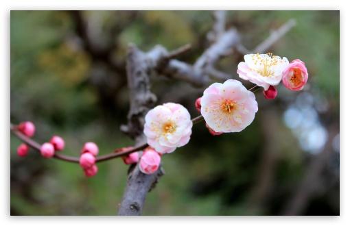Download Apricot Blossoms UltraHD Wallpaper