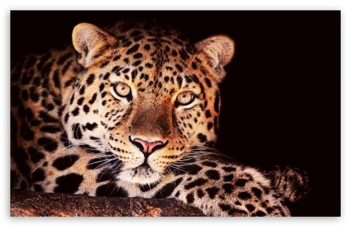 Download Leopard In Tree UltraHD Wallpaper