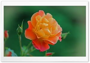 Spider on a Rose