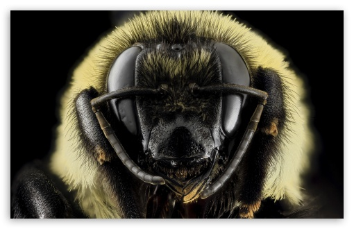 Download Bombus Griseocollis Brown-belted Bumblebee Head UltraHD Wallpaper