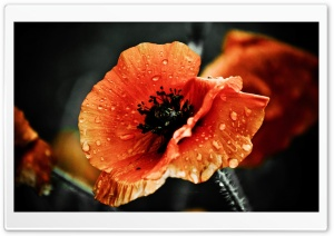 Red Poppy Flower, Raindrops,...