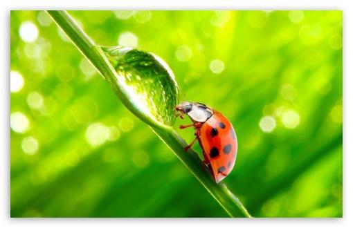 Download Ladybug WaterDrop UltraHD Wallpaper