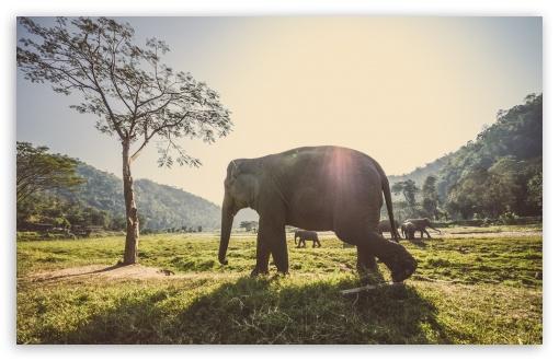 Download Elephant In Thailand UltraHD Wallpaper