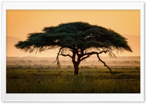 Umbrella Thorn Acacia Tree