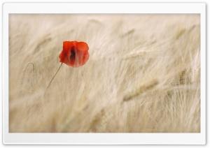 Red Poppy, Wheat Field