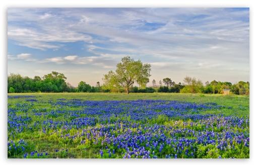 Download Blue Flowers Field UltraHD Wallpaper