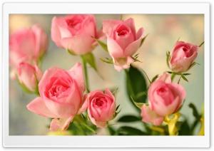 Cute Pink Roses