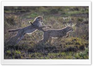 Cheetah Cubs Running