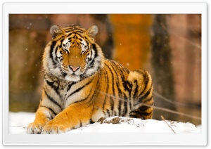 Sleepy Siberian Tiger Wild...