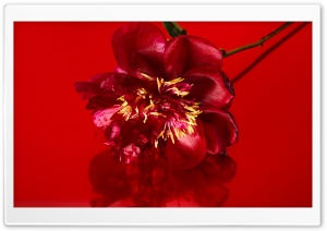 Red Peony Flower, Aesthetic
