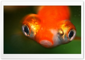 Goldfish Protruding Eyes