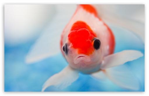 Download Goldfish UltraHD Wallpaper
