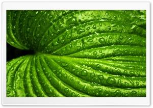 Wet Leaf, Macro