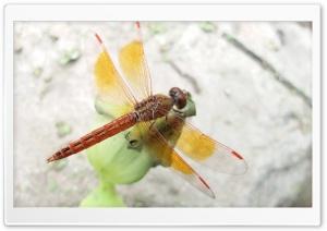 Dragon Fly ..M