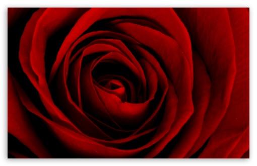 Download Beautiful Red Rose UltraHD Wallpaper