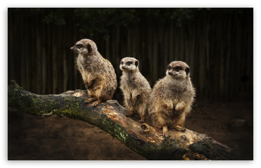 Download Meerkat Family UltraHD Wallpaper