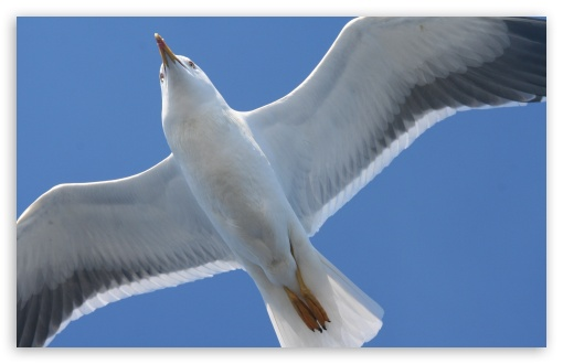 Download White Seagull UltraHD Wallpaper