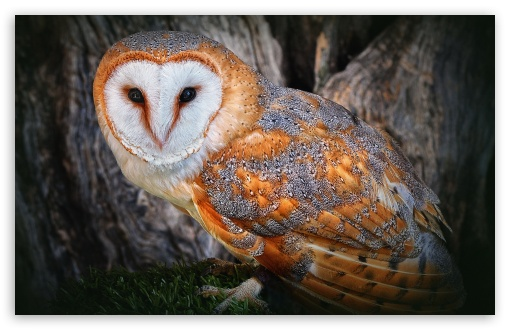 Download Orange Owl UltraHD Wallpaper