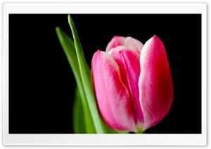 Cute Pink Tulip Flower