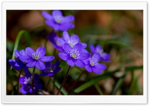 Purple Hepatica Spring...