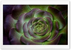 Houseleek Succulent Plant