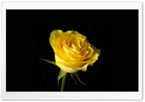 Yellow Rose On Black Background