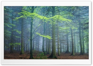 Spring Forest In Fog