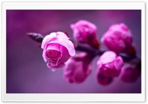 Pink Roses Branch Macro