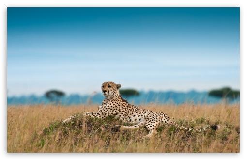 Download Cheetah Lying Down UltraHD Wallpaper