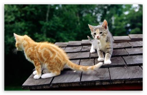 Download Fluffy Kittens UltraHD Wallpaper