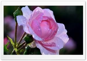 Pink Rose, Summer