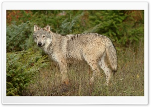 Wolf In Clearing Montana