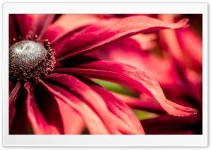 Red Rudbeckia Closeup