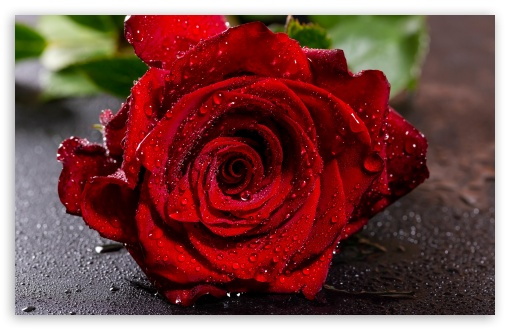 Download Red Rose Flower Macro, Water Drops UltraHD Wallpaper