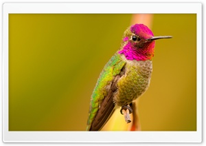Anna's Hummingbird Male...