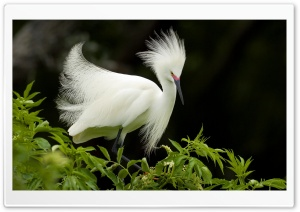 Snowy Egret In Breeding...