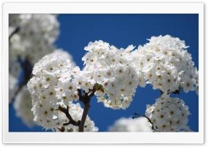 Bundles Of Cherry Flowers