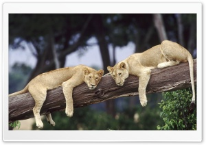 Lionesses Resting On A Fallen...