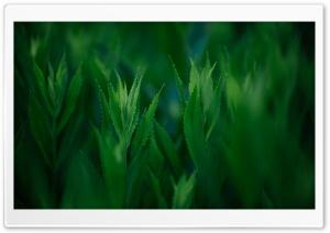 Green Coneflowers